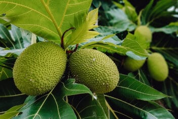 Breadfruit growing on a tree