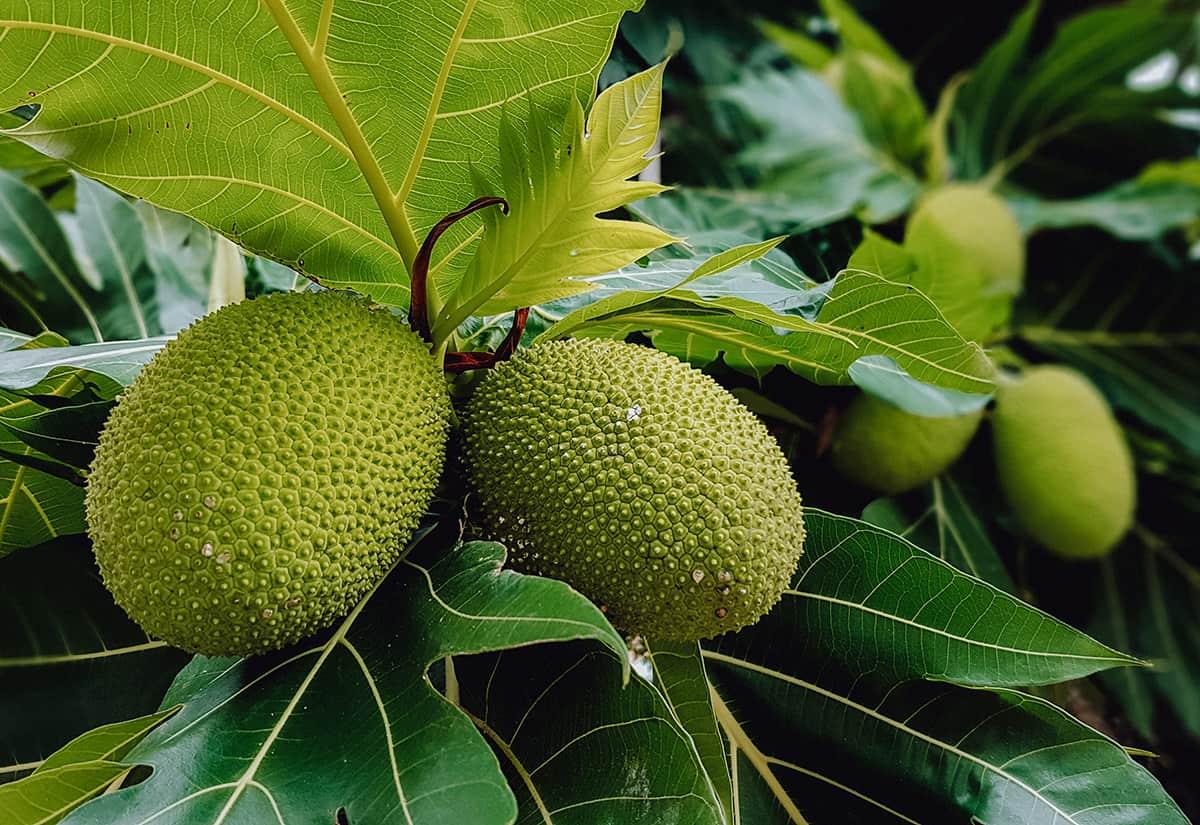 Breadfruit growing on a tree