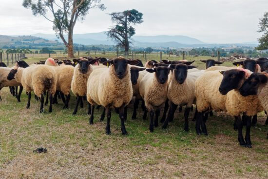 Everything You Need to Know About the Dorper Sheep