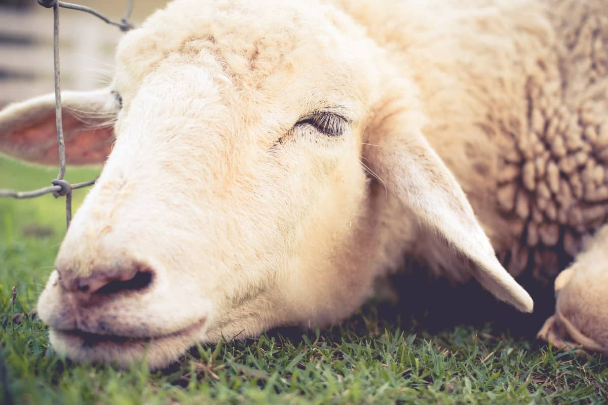 Pasteurella in sheep