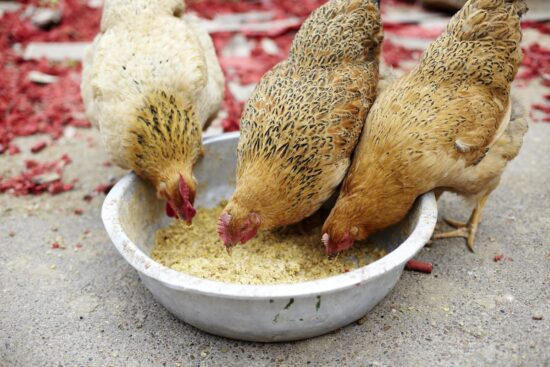 What Are Vegetarian-Fed Chickens and What's the Deal with Them?