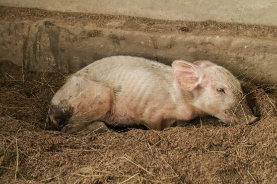 Greasy Pig: What Is It and Tips To Prevent and Treat This Swine Disease