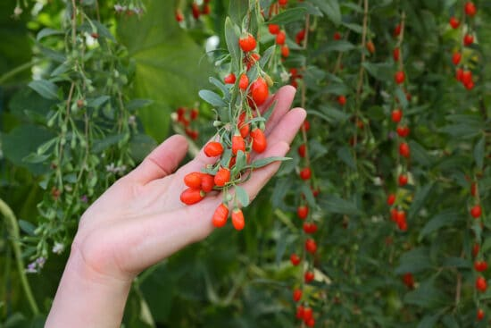 Goji Berry Plant: What You Should Know About Growing This Healthy Food