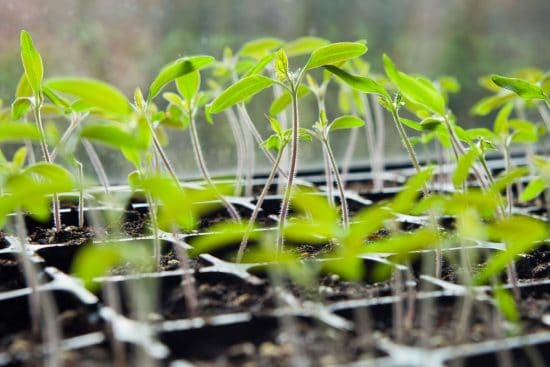How to Save Leggy Seedlings and Prevent Spindliness