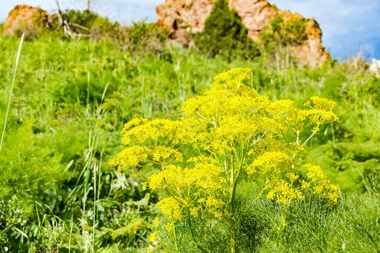 Growing Asafetida: How to Plant, Care For and Use This Versatile Herb
