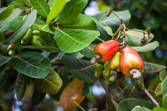 How to Grow Cashew Trees in Your Backyard
