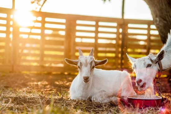 Raising Livestock in the City: The Best Animals to Choose and Tips for Success
