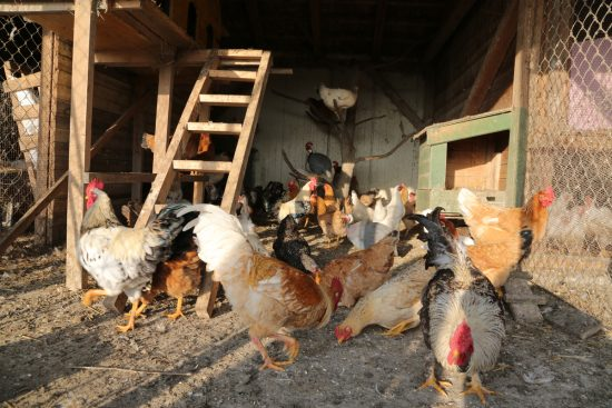 Is Chicken Coop Dust Harmful and How Can You Limit It?