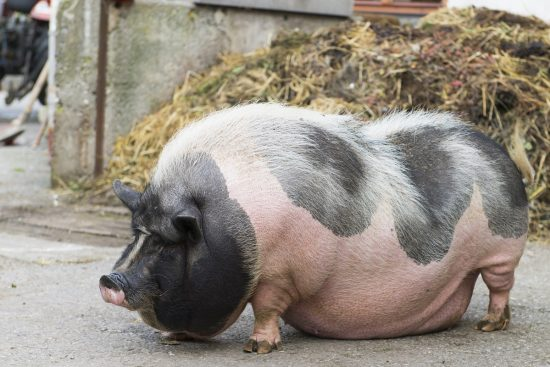 How You Can Help Your Overweight Pig Lose Weight and Be Healthy