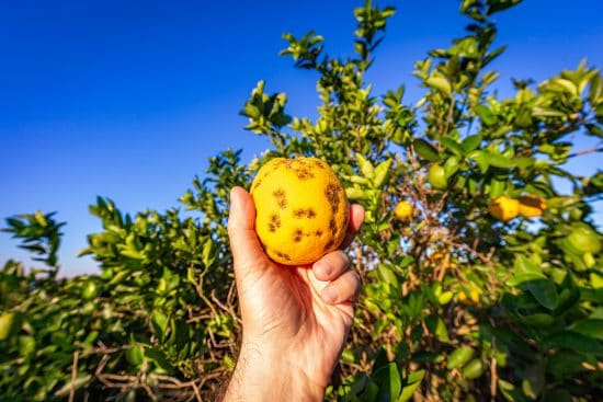 11 Citrus Tree Pests and Diseases That Can Destroy Your Grove