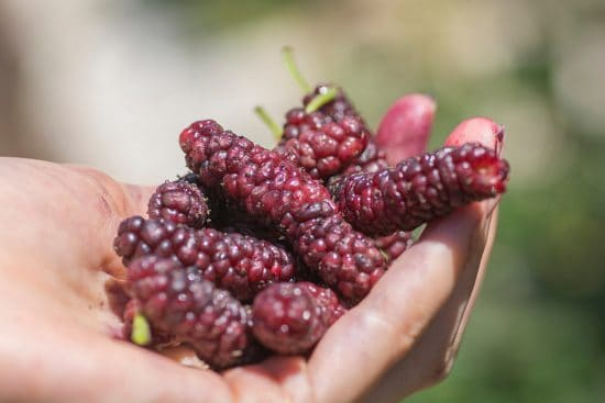 11 Ways to Preserve and Use Mulberries