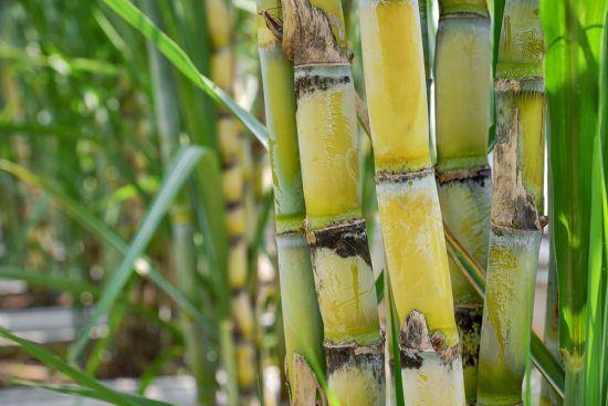 Growing Sugarcane: How to Plant and Care For This Sweet Treat