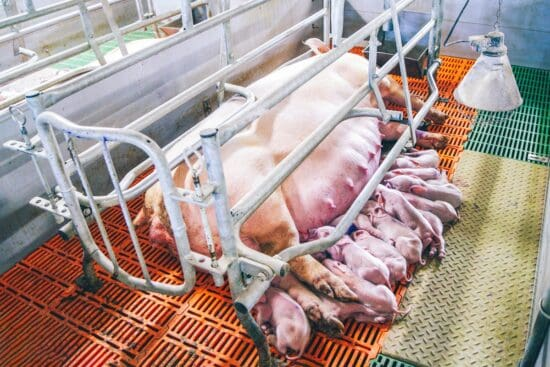 What Are Farrowing Crates and Are They Ethical or Not?