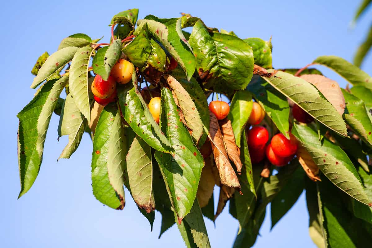 12 Cherry Tree Pests and Diseases You Need to Watch For