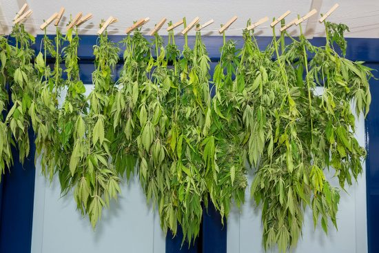 A Guide to Drying and Curing Cannabis