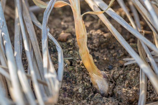 11 Garlic Plant Pests and Diseases That Can Ruin Your Crop