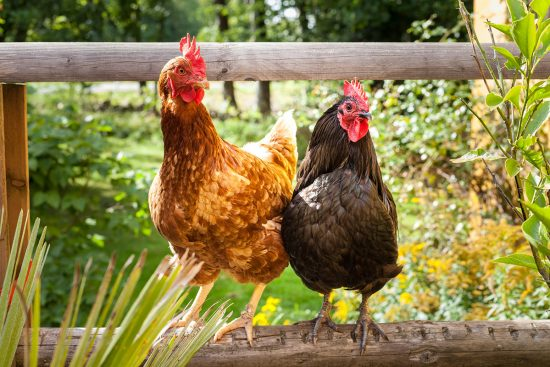 14 Poisonous Plants Your Chicken Flock Needs to Avoid