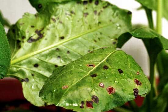 Cercospora Leaf Spot: How to Deal With This Common Fungal Disease
