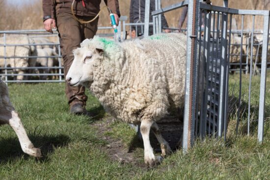 How Often Should You Deworm Sheep or Is It Even Necessary?
