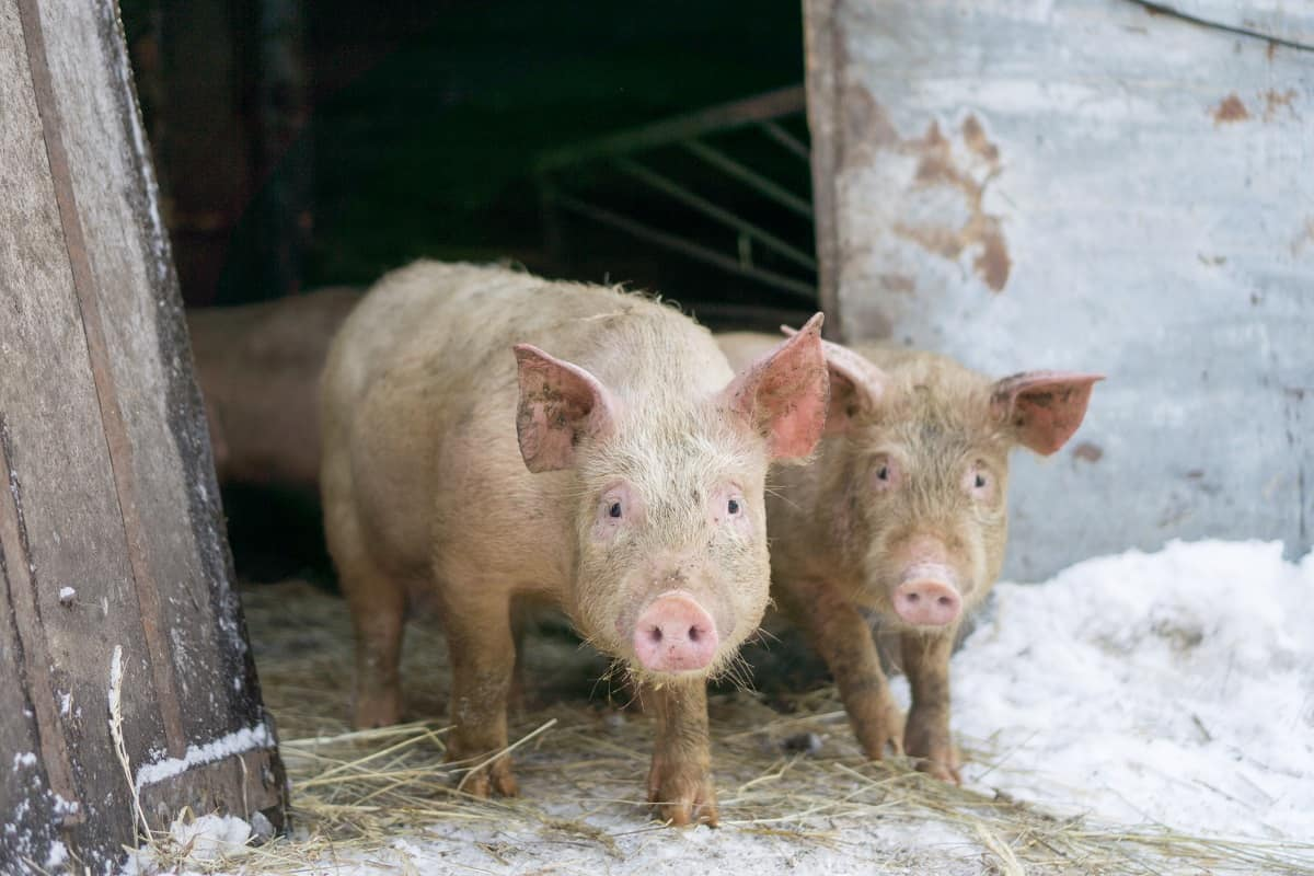 Raising Pigs in Winter vs Summer – How to Decide