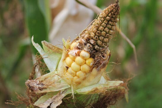 17 Corn Plant Growing Problems and How To Fix Them