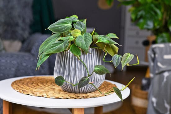 Growing Philodendrons: How to Care For This Iconic Houseplant