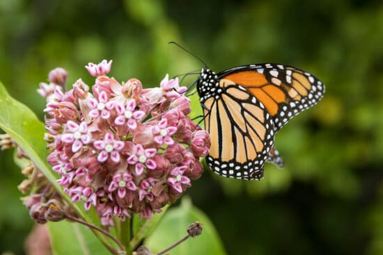 """Growing Milkweed: How to Plant and Raise This Invaluable """"Weed"""""""